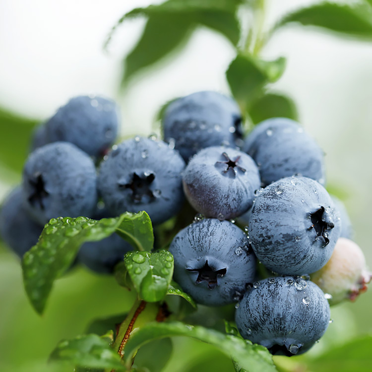 Arctic Blueberry Special Hartmann S Plant Company