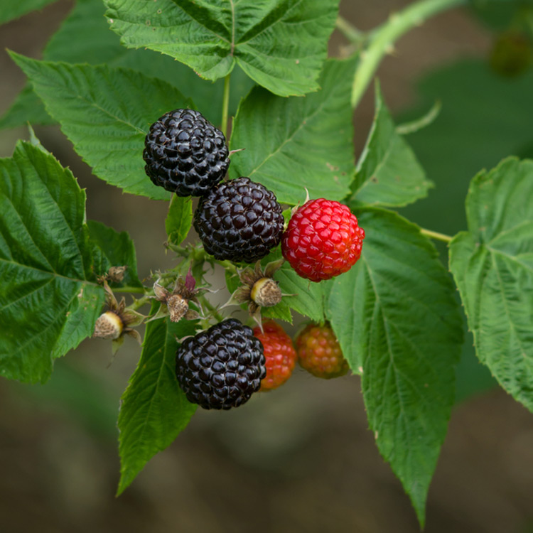 Raspberries Black