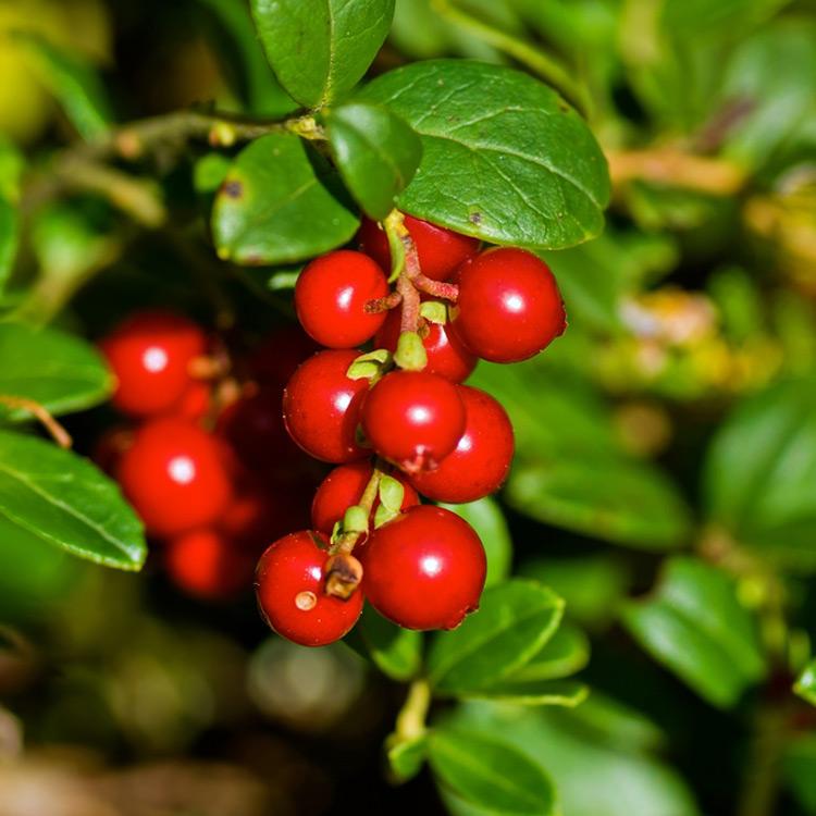Lingen berry