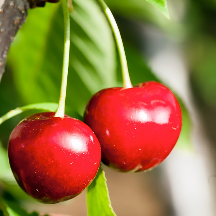 Bush Cherries