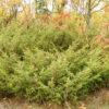 old-field-juniper