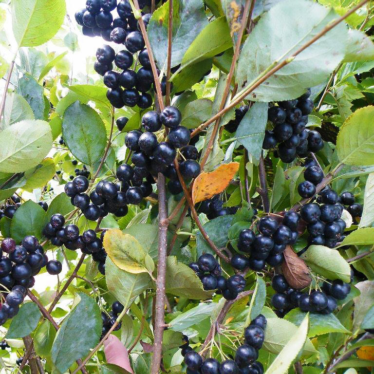 Viking Aronia Berry Hartmann S Plant Company Wholesale Store