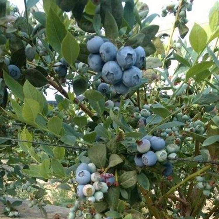 Southern Highbush Blueberries Archives Hartmann S Plant