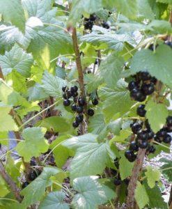 Consort- Black Currant