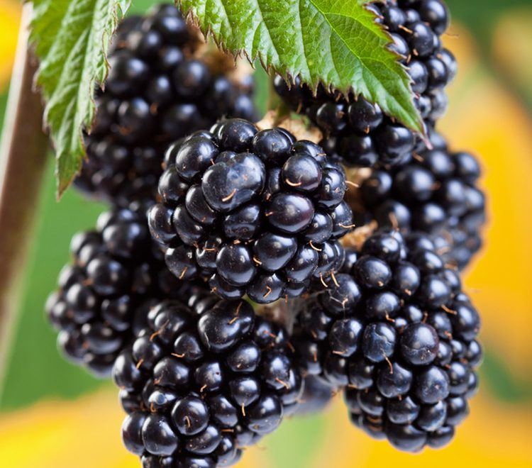 Bunch of blackberries hanging from the plant